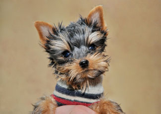 собака фото карманная